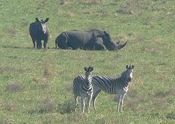 Big 5 Zuid Afrika Witte Neushoorn