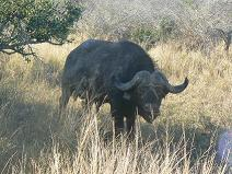 Big 5: Buffel